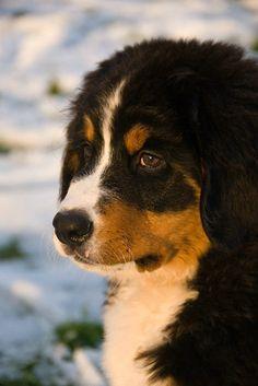 Bernese Mountain Dog in Snow