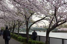 https://flic.kr/p/FBpDVb | Cherry Blossoms, Kema-Sakuranomiya-koen Park, Osaka, 2016 | 毛馬桜之宮公園