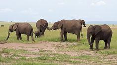 Elephants, Masai Mara in Kenya