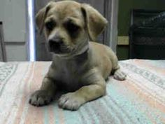 #A4812957 I'm an approximately 2 month old female chihuahua sh. I am not yet spayed. I have been at the Carson Animal Care Center since March 29, 2015. I will be available on April 2, 2015. You can visit me at my temporary home at C406. Carson Shelter, Gardena, California.. https://www.facebook.com/171850219654287/photos/pb.171850219654287.-2207520000.1427862038./390895861083054/?type=3&theater