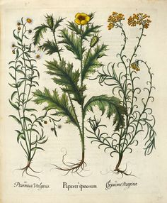 I. Papaver spinosum. II. Chrysocome Peregrina. III. Ptarmica Vulgaris. | See more Still-life Prints at http://www.1stdibs.com/art/prints-works-on-paper/still-life-prints-works-on-paper on 1stdibs