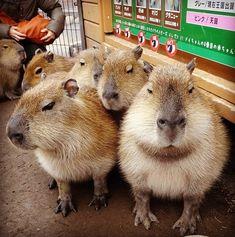 集合 #capybara byMegumi Miura