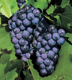 Viiniköynnös Zilga (Vitis Labruscana-ryhmä)