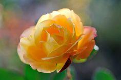 Rose 'Souvenir de Anne Frank'   by myu-myu