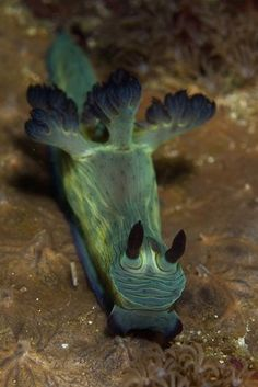 Green Nembrotha Nudibranch A green sea slug appears to be part animal, part plant Underwater Creatures, Underwater Life, Fauna Marina, Deep Sea Creatures, Sea Anemone, Sea Snail, Sea Slug, Water Animals, Mundo Animal