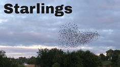 I got to see, first hand, this rare event! Murmuration of starlings just over the river Shannon in Carrick on Shannon. Beautiful, mesmerising and amazing, an. Over The River, Starling, Natural Wonders, Ireland, Mystery, Meditation, Channel, Birds, Amazing