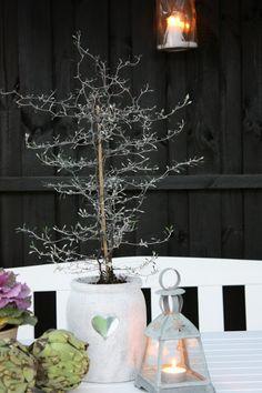 Grey green corokia cotoneaster in silver pot decor plants indoor plants und houseplants - Wohnzimmer pflanze groay ...