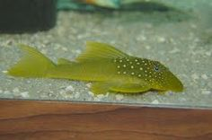 """Plecos 