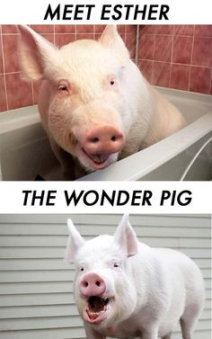 Esther the Wonder pig is a 670-pound babe that was supposed to be a micro-pig. She has grown up on social media and the world has fallen in love with her.