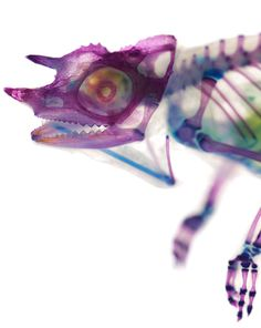 Artist Iori Tomita, who graduated from the Kitasato University School of Fisheries Sciences, creates these incredibly strange specimens of animals, turning all the protein in their bodies transparent, and then infusing their bones and cartilage with color so they become strangely compelling, soft-colored skeletons.