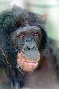 Portrait Of A Bonobo In Culture Wise Female Is The Head Group And Makes Important Decisions Chimpanzees It Completely Opposite