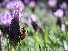 Three Things You Should Know About Growing Lavender