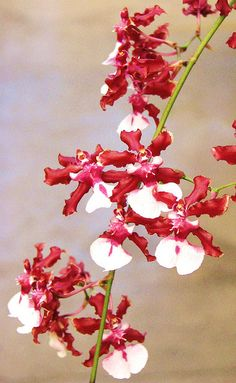 Oncidium Sharry Baby - it smells like chocolate. Unusual Flowers, Most Beautiful Flowers, Rare Flowers, Pretty Flowers, Colorful Flowers, Baby Orchid, Wild Orchid, Potager Bio, Types Of Orchids