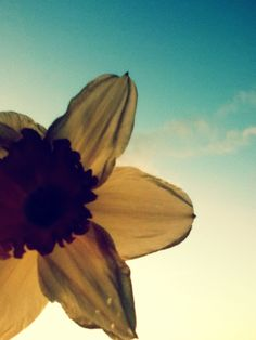 Daffodil, sky, clouds, close up, flower (Taken and edited by me)