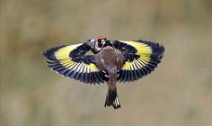 Image result for goldfinch
