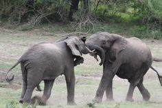 https://flic.kr/p/cpJkc1 | Elephant challenge..Tembe Elephant Park | Stop Elephant and Rhino Poaching
