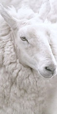 Sheep - White
