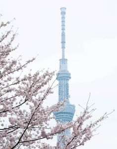 Sakura blossoms and the Sky Tree