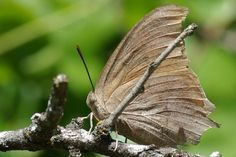 Goatweed Leafwing butterfly showing the undersides of its wings (Anaea andria). Insects, Wings, Butterfly, Park, Nature, Animals, Animales, Animaux, Parks
