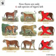 Just 100 years ago, there were 9 subspecies of tigers. Tdy 3 subspecies have already gone extinct; the Javan, Caspian and Balinese Tiger. There are as few as 3200 tigers left in the wild. Join us as we work to #doubletigers by 2022. http://ift.tt/1KWSSe6