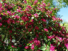 """Honeysuckle Shrub """"Arnold's Red"""", Zone 3, 6-8' high, 6-10' wide, full sun."""