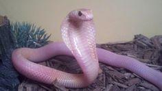 Such an adorable snake #snakes #reptiles #topanimals