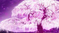 anime cherry blossoms | Anime Cherry Blossom - lovely, cherry blossom, blossom, nature, plant ...