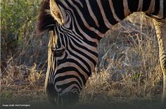 Zebra by guest Mark Farrington