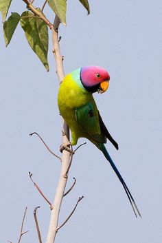 "Plum-headed Parakeet ~ Miks' Pics ""Fowl Feathered Friends V"" board @ http://www.pinterest.com/msmgish/fowl-feathered-friends-v/"