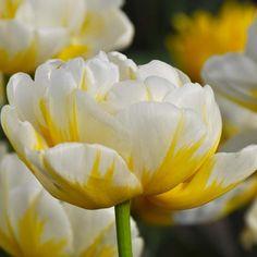 Double Tulip 'Flaming Evita'