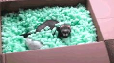 Ferrets Are Like Cat Snakes