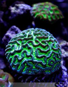 Ecoxotic Cannon LED Pendant - Maze Coral