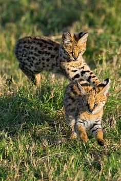 The Serval (Leptailurus serval) has long legs for running and jumping, big ears for hearing (even animals underground) and are camouflaged at nighttime. Description from pinterest.com. I searched for this on bing.com/images