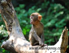 Chinese Macaque Monkey