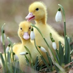 spring animals | pair of ducklings is playing among spring flowers in a beautiful ...