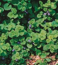 How to Get Rid of Creeping Charlie | Gardening Guide | Home & Garden — Country Woman Magazine