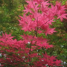 23 Best Maples Images In 2015 Acer Palmatum Plants Japanese Maple
