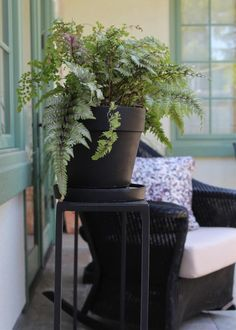 Japanese painted fern as potted house plant via Gardenista
