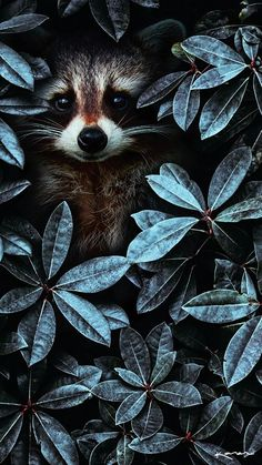 iPhone and Android Wallpapers: Racoon Window Wallpaper for iPhone and Android animal animals background iphone wallpaper wallpaper iphone you didn't know existed planet animal drawings and white animal photography animals baby animals animals animals Tier Wallpaper, Animal Wallpaper, Seagrass Wallpaper, Paintable Wallpaper, Windows Wallpaper, Emoji Wallpaper, Colorful Wallpaper, Fabric Wallpaper, Wallpaper Quotes