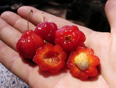Surinam berry: Rare Fruit Seeds and Exotic Tropical Fruit Seeds