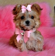 cute morkies morkie poos and yorhies | Cute Picture | Puppy | Yorkie in Pink | Cutearoo | Puppies, Kittens ...
