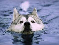 Husky loved the lake Dog Breed Info, Cute Husky, Husky Husky, Dog Muzzle, Chinese Crested Dog, Water Animals, Dog Wallpaper, Animal Wallpaper, Snow Dogs