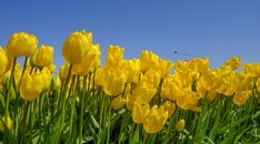 Spring Pictures, Fujifilm, Tulips, Plants, Plant, Tulip, Planets