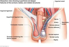 The female reproductive system anatomical chart pinterest female simple male reproductive system google search ccuart Choice Image
