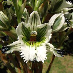 Orquidea Nativa de Chile / Native Chile Orchid by LeonCalquin, via Flickr