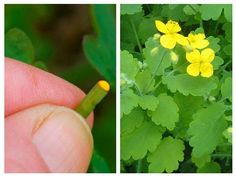 Ultimile zile din luna aprilieși primele zile de mai sunt cele în care poți să culegi planta miraculoasă de rostopască! Dacă te decizi să încerci să faci această rețetă, nu uita de perioada culegerii! Iată care sunt cele mai răspândite metode de aplicare și afecțiuni pe care le poți trata cu ajutorul acestei plante extraordinare: 1. Ochii obosiți sau cataracta Închizi pleoapele și le ungi cu suc de rostopască, apoi va trebui să aștepți 15 – 17 minute pentru ca sucul să își facă efectul… Healthy Nutrition, Good To Know, Natural Remedies, Herbalism, Flora, Cancer, Health Fitness, Herbs, Vegetables