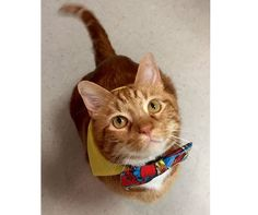 Obese Texas rescue cat wins the battle of the bulge