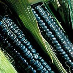 """Black Aztec corn A delicious heirloom corn said to have been grown by the Aztecs 2,000 years ago. 6' plants produce 8"""" ears with kernels that are white at milk stage and turn jet black when mature. Good as a sweet corn when young and when older, makes an excellent blue cornmeal."""