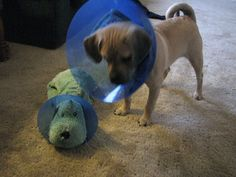 24 Pets Owning The Cone Of Shame    I feel like @Alyssa Bois would like this