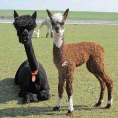 Mom and baby alpaca